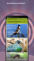 Red-whiskered Bulbul Sounds Screen