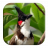 Red-whiskered Bulbul Sounds 1.2